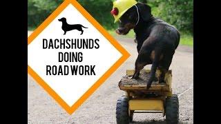 Dachshunds Doing Road Work - Cute Construction Worker Dachshunds!