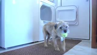 Border Terrier Puts The Balls Back