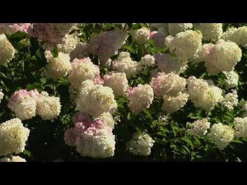 Метельчатая гортензия Грандифлора в сквере. The swarthy hydrangea of Grandiflora in the square.