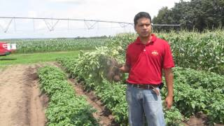 Biochar in potato and sweet corn production