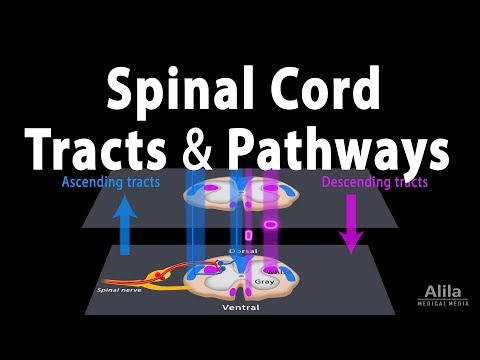 Spinal Cord: Anatomy, Spinal Tracts & Pathways, Somatic Reflexes, Animation
