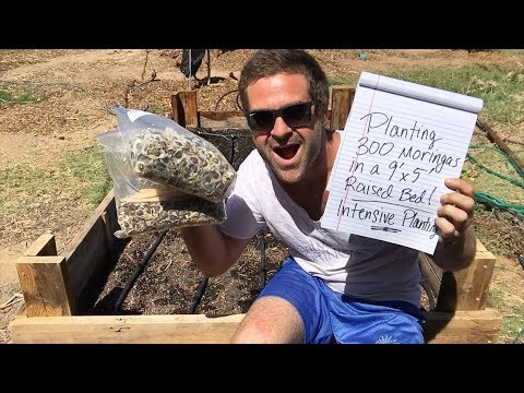Ep122 - Intensive Moringa Planting (300 Moringas in 45 sqft) 4 month test - September Planting