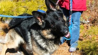 Zeke, A 2-year-old German Shepherd Dog ****rescued****  In Manahawkin, Nj