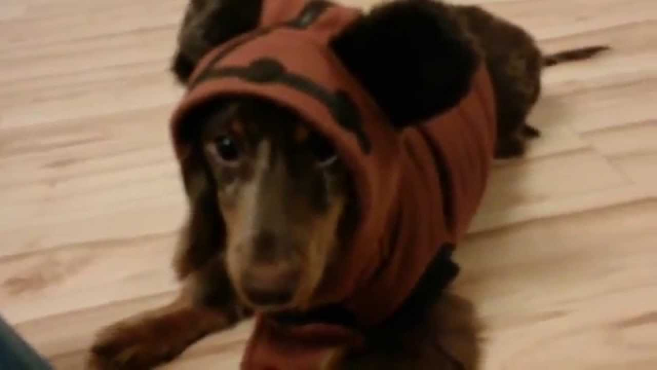 4e9acc9e9fd Dachshund dressed as an Ewok - YouTube