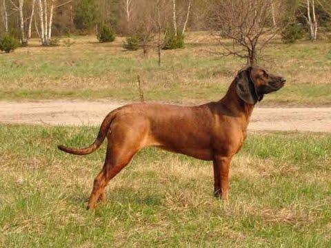 Баварская горная гончая (следовая собака)