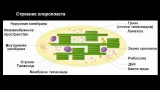 Строение клетки  митохондрии, пластиды