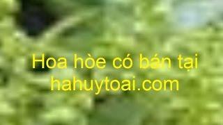 Hoa hòe - Hoa hòe chữa cao huyết áp - Bán hoa hòe chất lượng tốt