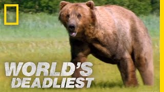 Grizzly Bear Attacks Prey | World s Deadliest