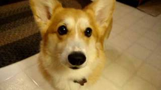 Corgi Wants A Carrot