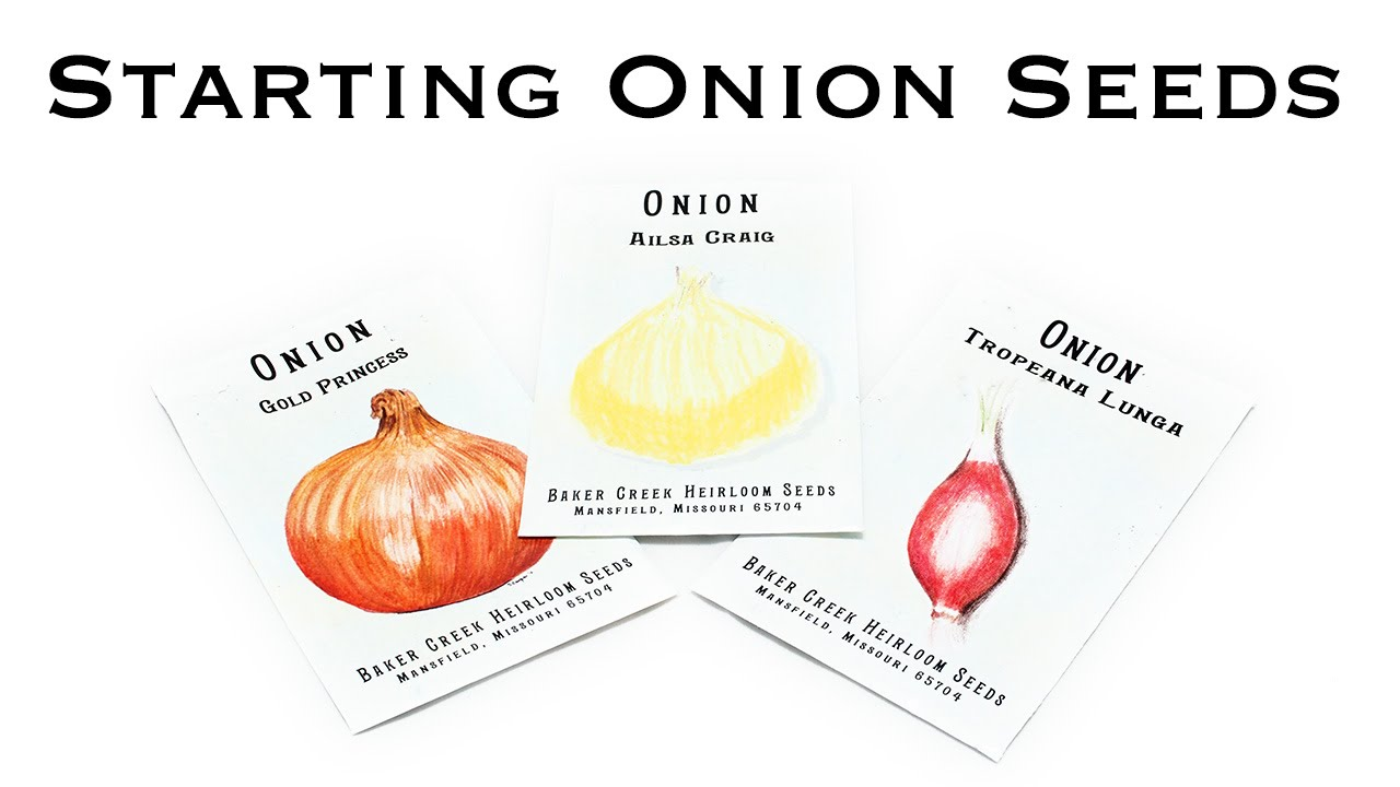 Starting onion seeds youtube ccuart Images