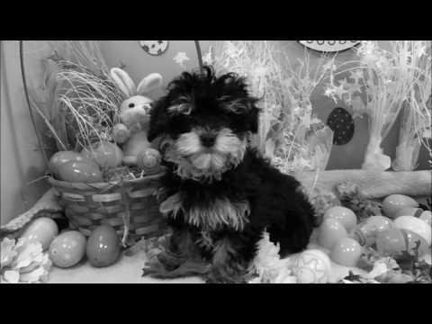 Male Hava Poo Puppy