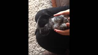Cocker Spaniel Blue Roan Puppy Sleeping