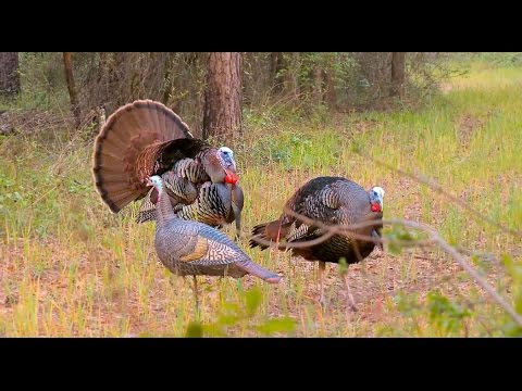 Turkey Hunting in the Wind