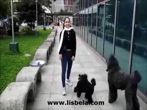 Miniature & Standard Poodle Tricks - Advanced & Intermediate