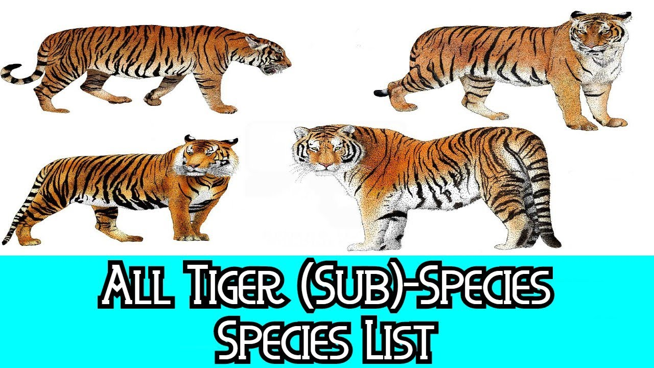All Tiger (Sub)Species - Species List - YouTube