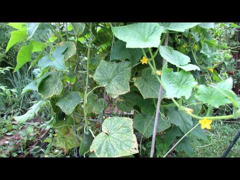 Saving Yellow Beat-Up Midseason Cucumber Plants
