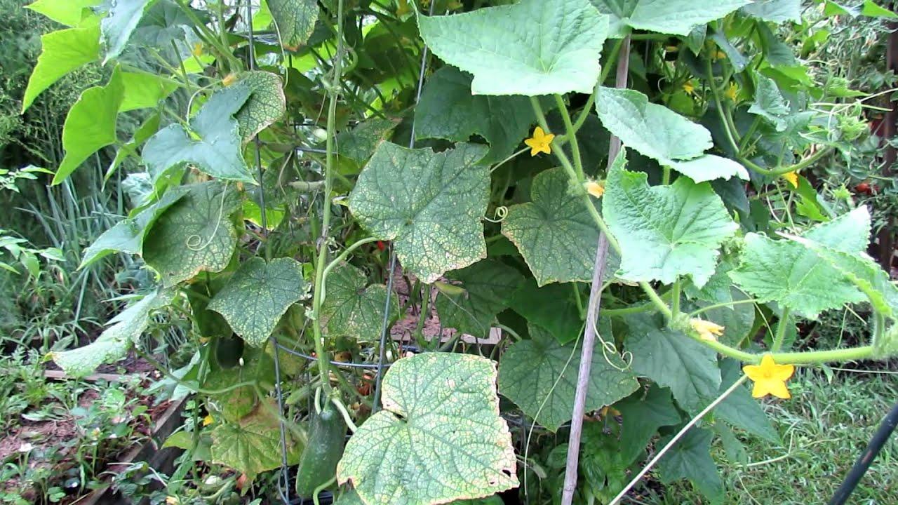Saving Yellow Beat Up Midseason Cucumber Plants Youtube