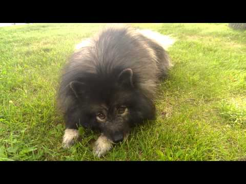 Clancy the Keeshond whining & whimpering for Marjorie's Kennel to shut down (fluffy dog trick )