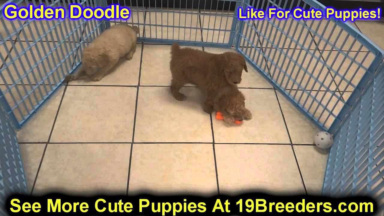 Golden Doodle Puppies For Sale In Clifton New Jersey Nj