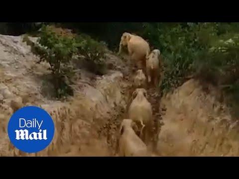 Слоны застряли в яме с грязью