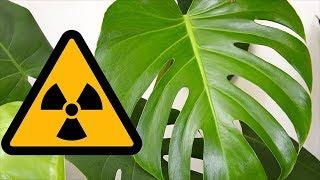 ЯДОВИТЫЕ комнатные растения! Будьте Осторожны! Популярные и опасные растения.