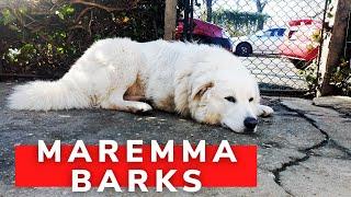 Maremma barks  maremmano abbaia