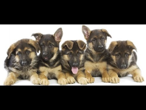 Top Class Khubsorat German Shepherd Puppies 00923459442750 Zain Ali