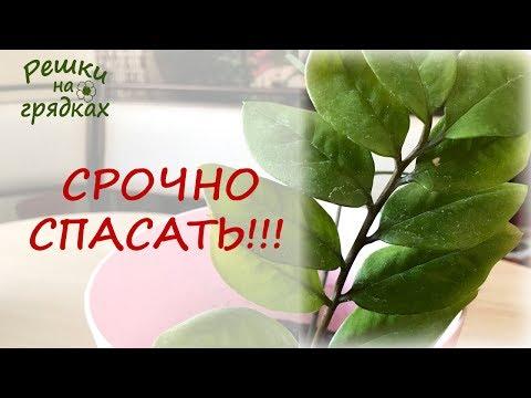 Залили Замиокулькас ЧТО ДЕЛАТЬ? Желтеют листья долларового дерева