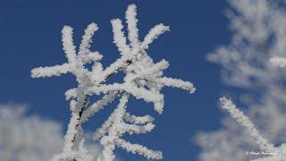 今季一番のシバレ  氷点下30℃ 霧氷に覆われた美しい森 Beautiful forest covered with hoarfrost 2020