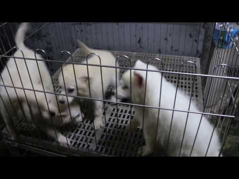 Japanese Spitz puppies, Corgis and Dachshunds in a farm in Singapore
