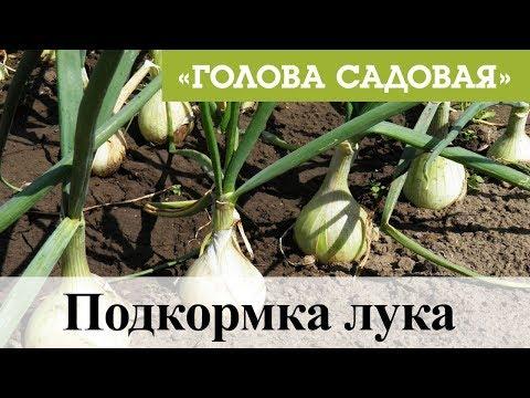 Голова садовая - Подкормка лука | садоводство | красноярск | подкормка | афонтово | лука_2019_5 | участок | садовая | рассада | семена | огород