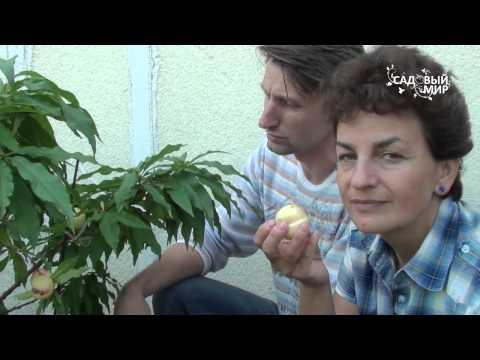 Вопрос: Как вырастить персики в домашних условиях?
