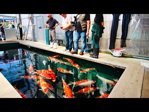 How is it like to buy Koi in Japan? Join us for our most recent trip to Japan
