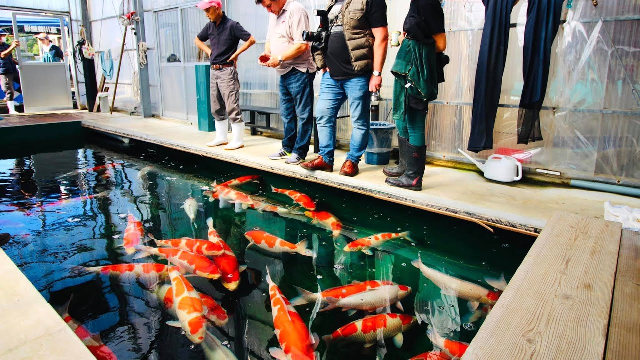 45 Traditional Japanese Koi Fish Tattoo Meaning Designs: What Is It Like To Buy Koi In Japan? Join Us For Our Most