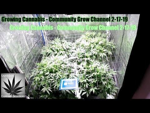 Growing Cannabis - Community Grow Channel 2-17-19