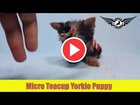 Micro Teacup Yorkie Puppy by PuppyHeaven.com