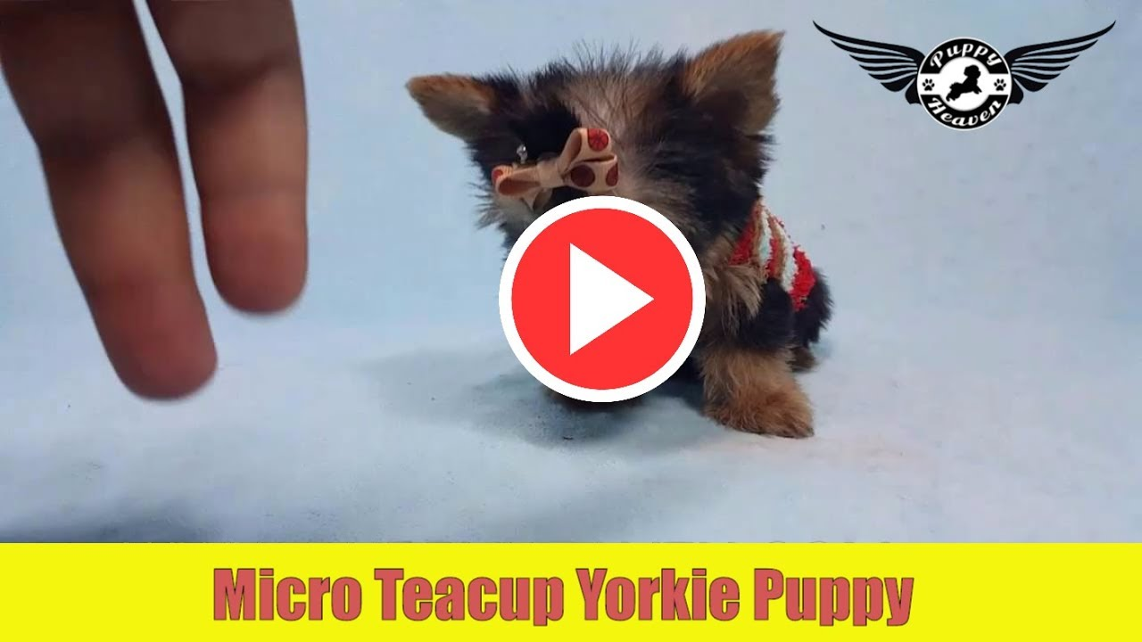 toy yorkie puppies micro teacup yorkie puppy by puppyheaven com youtube 9359