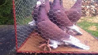 Gołębie rzeszowskie(2)