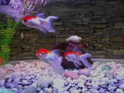 Baby Oranda Goldfish