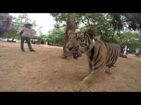 Tiger temple thailand HD