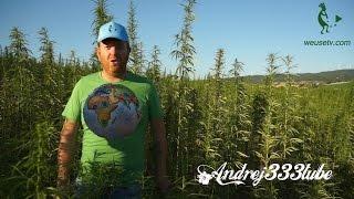 Agricoltura biologica - Coltivazione di produzione di canapa sativa
