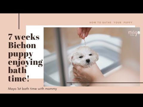 Mayo First bath time with Mommy, bichon frise puppy bath time