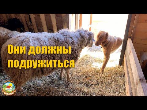 #138 Как подружить собаку с овцами? Наши будни  / переезд в деревню