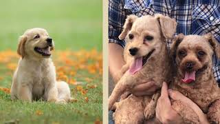 Toy Poodle dog breed|| Puppies day out