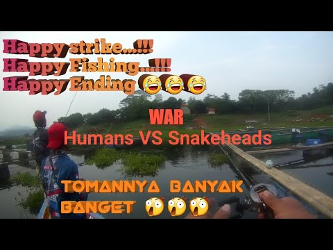 Boiling Beby Toman...!!! Giant Snakehead
