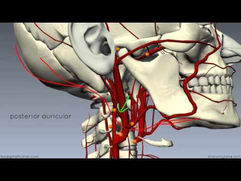 External Carotid Branches - 3D Anatomy Tutorial