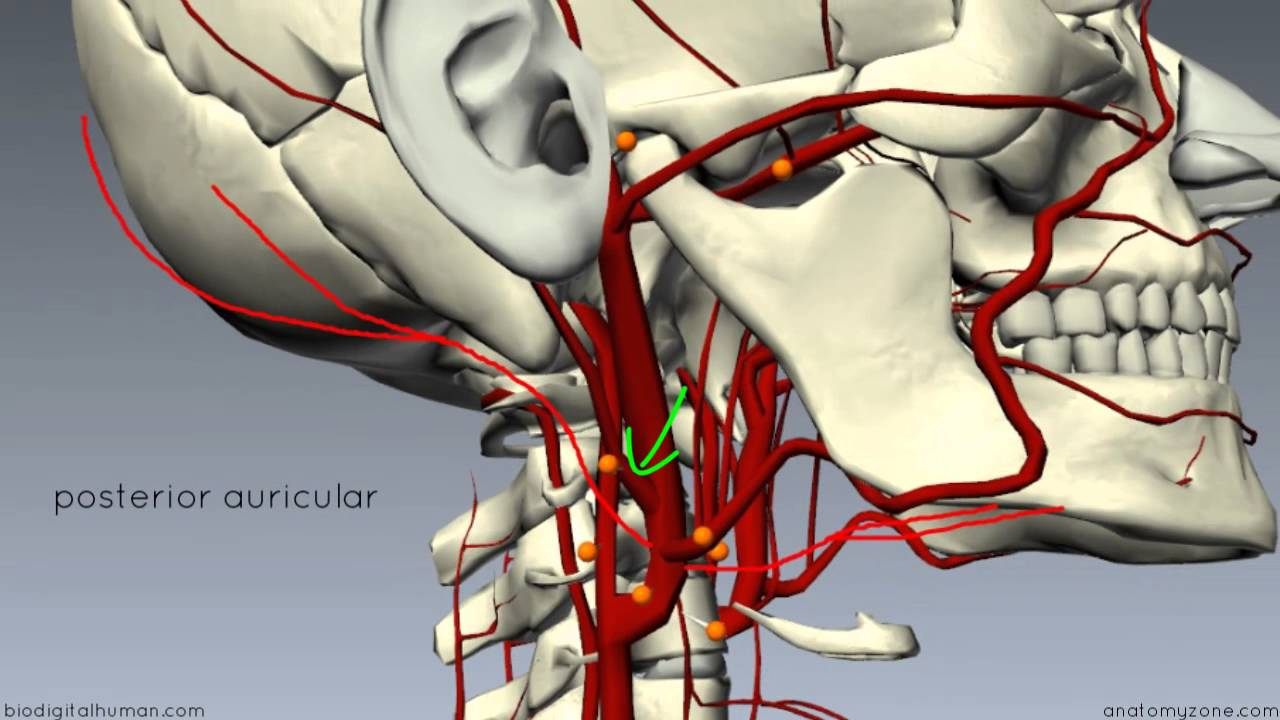 External Carotid Branches 3d Anatomy Tutorial Youtube