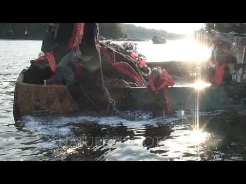 Commercial Fishing: Seine Nets & Herring