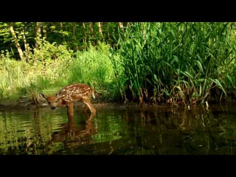 Fawn Getting A Drink From The Creek!