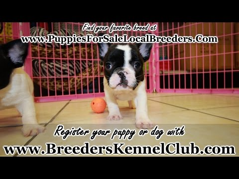 FRENCH BULLDOG PUPPIES FOR SALE LOCAL BREEDERS